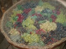 Fruit grapes. Different colors of grapes, which will become wine Stock Photos