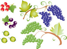 Fruit grapes. A vector illustration of a bunch of black and white grapes,some gooseberries,blackcurrants and red currants Royalty Free Stock Image