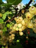 Fruit, Grapevine Family, Grape, Gooseberry royalty free stock photos