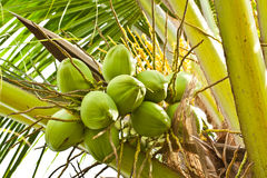 Fruit, green coconut Royalty Free Stock Image