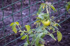 The fruit green tomatoes on the bush. Food royalty free stock photos