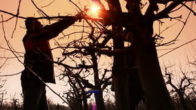 Fruit grower pruned fruit trees. Two fruit grower working spring pruning fruit trees in the orchard.Shot against the sun,video clip stock footage