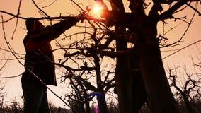 Fruit grower pruned fruit trees stock footage