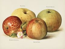 The fruit grower`s guide  : Vintage illustration of apple Stock Photography