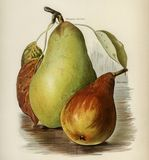 The fruit grower`s guide : Vintage illustration of pear Royalty Free Stock Images