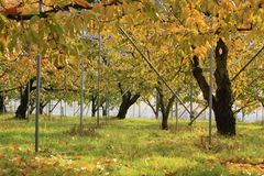 Fruit growing farm. Low perspective in a fruit growing glasshouse-autumn season Stock Photography