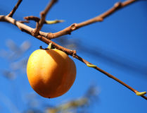 Fruit hang on the branch. Isolated fruit hang on the branch in Autumn Stock Photo