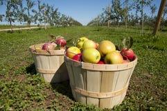 Fruit harvest. Of apples on a farm. Resembles a vinyard Stock Image