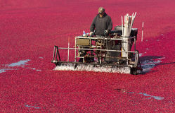 Oregon Farmer Prepares Cranberry Big Fruit Harvest Royalty Free Stock Photos