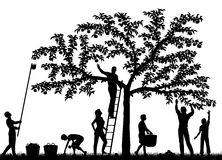 Fruit harvest. Editable vector silhouettes of a family harvesting apples from a tree with people and fruit as separate objects Stock Photos