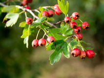 Fruit of hawthorn (Crataegus laevigata). At the end of the summer Stock Photography