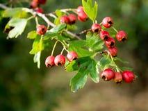 Fruit of hawthorn (Crataegus laevigata) stock photography
