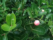 Fruit for health, Carunda or Karonda in the green garden. royalty free stock images
