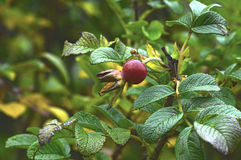 Fruit of the hedgerow rose Royalty Free Stock Image
