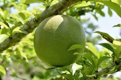Fruit of the higuero stock image
