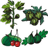 Fruit illustration series. A set of 4  illustrations of figs and cherries Royalty Free Stock Image