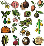 Fruit illustration series. A set of 18 vector illustrations of exotic fruits Royalty Free Stock Images