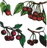 Fruit illustration series Stock Photography
