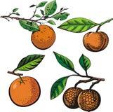 Fruit illustration series Stock Photos