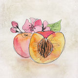 Fruit illustration with watercolor. Two apricots together Royalty Free Stock Images