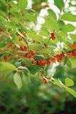 Fruit Images. Plant,Fruit royalty free stock photos