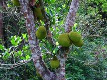 Fruit: jackfruit Stock Photography