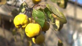 Fruit jaune mûr organique de coing sur l'arbre Tir haut étroit contre la lumière du soleil clips vidéos