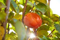 Fruit kaki de kaki dans l'arbre avec des feuilles Images stock