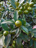 The fruit of the kumquat. Exotic kumquat grows on the tree in the greenhouse Royalty Free Stock Photos