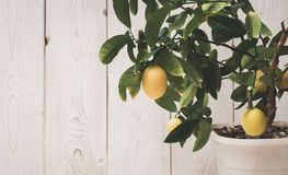 the fruit of the lemon on the branch Stock Images
