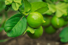 Fruit,Lemon, Lime,plant Royalty Free Stock Photo
