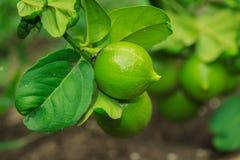Fruit,Lemon, Lime,plant Royalty Free Stock Photo