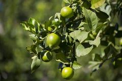 Fruit lemon tree Stock Photos