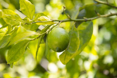 Fruit lemon tree Stock Images
