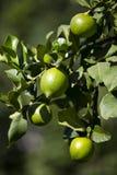 Fruit lemon tree Stock Image
