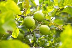 Fruit lemon tree Royalty Free Stock Image