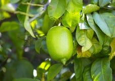 Fruit lemon tree Stock Photo