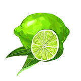 Fruit lime Vector illustration  hand drawn Stock Images