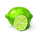 Fruit lime Vector illustration  hand drawn Stock Image