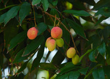 Fruit:litchi. Chinese fruit:bunch of fresh litchi Stock Images