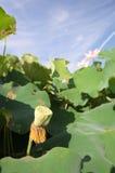 Fruit of lotus Royalty Free Stock Photo