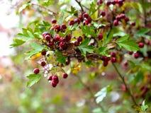 Fruit mûr d'aubépine dans le jour d'automne Image libre de droits
