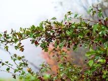 Fruit mûr d'aubépine dans le jour d'automne Photographie stock libre de droits