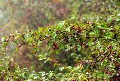 Fruit mûr d'aubépine dans le jour d'automne Images stock