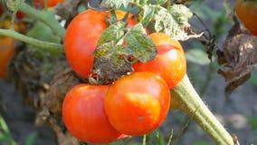 Fruit mûr de tomate sur l'usine Récolte des tomates dans un jardin banque de vidéos