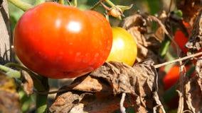 Fruit mûr de tomate sur l'usine Récolte des tomates dans un jardin clips vidéos