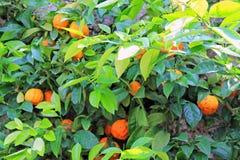 Fruit mûr orange lumineux parmi les feuilles vertes image stock