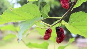 Fruit mûr rouge de mûre sur le mouvement d'arbre du coup de vent banque de vidéos