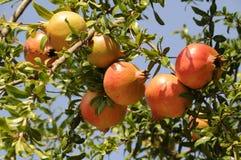 Fruit mûr de grenade sur un arbre en Grèce du nord Photo libre de droits