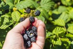 Fruit mûr de mûres de cueillette Images libres de droits